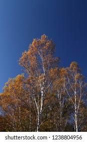 Autumn white birch forest