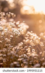 Autumn wild grass and white daisy flowers on a meadow in the rays of the golden hour sun. Seasonal romantic artistic vintage autumn field landscape wildlife background  - Shutterstock ID 1995931115