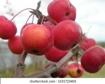 Autumn wild small Apple fruit. Macro mode.