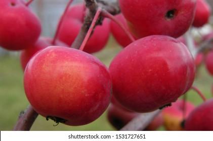 Autumn wild small Apple fruit. Macro shooting.