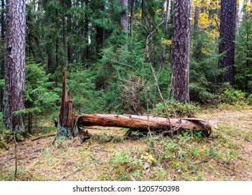 Autumn wilderness forest scene. Larch tree wilderness forest in autumn season. Wilderness forest larch trees background. Forest larch trees in autumn scene