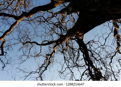In autumn willow tree drops dried leaves and its curly branches show up