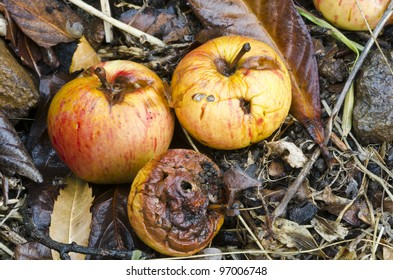 Autumn windfall apples - decomposing apples that have dropped from the tree in Fall