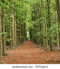 Autumn Woodland scene in Rural England with avenue of Beech trees lining a footpath