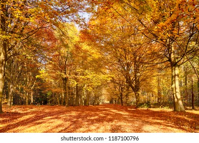 Autumn woodland trees in amazing colour of orange and red fall leaves. Natures colourful display in an outdoor forest scene