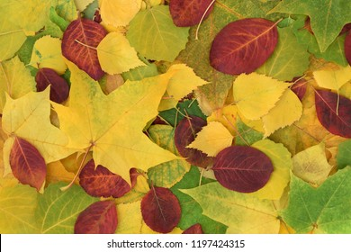 Autumn yellow and green leaves of maple, birch and quaking asp, red leaves of chokeberry. Nature background