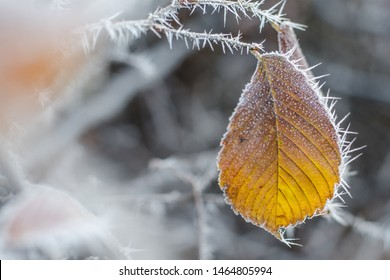 Autumn yellow leaf on a branch in frost needles. Morning frost. Rime. Late fall
