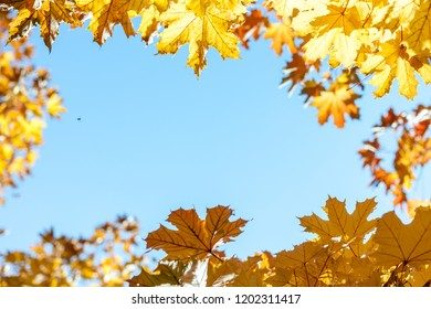autumn yellow leaves against blue sky background