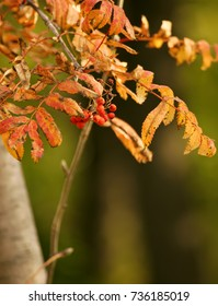 Autumn. Yellow leaves and berries of mountain ash.