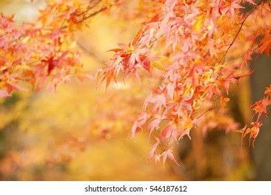 Autumn yellow leaves at Kawaguchi Lake, Japan