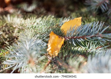 Autumn yellow leaves lie on a spruce branch in the forest
