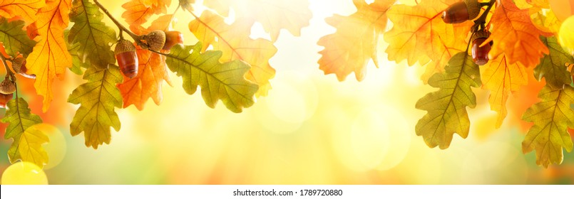 Autumn yellow leaves of oak tree with acorns in autumn park. Fall background with leaves in sun lights with bokeh. Beautiful nature landscape.