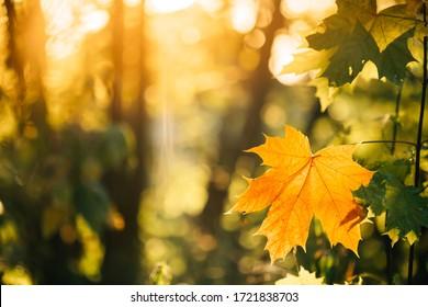 Autumn yellow maple leaf among green foliage. Early Autumn.