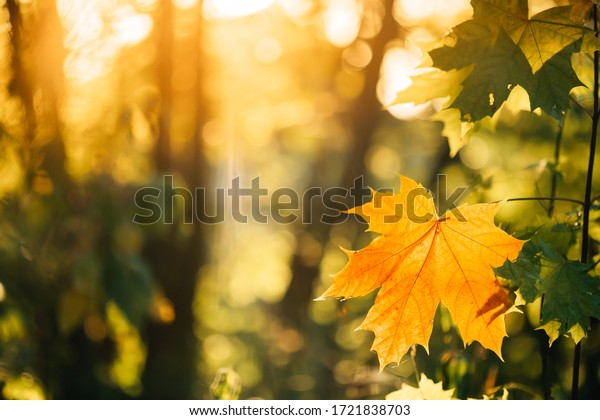 Autumn yellow maple leaf among green foliage. Early Autumn.