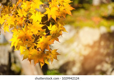 Autumn yellow maple leaves with blurred background at morning in autumn season from Kyoto, Japan