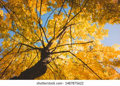 Autumn yellow tree and blue sky background