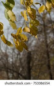 autumn yellowed foliage