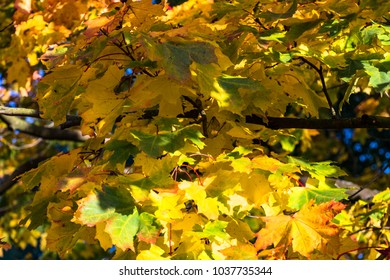autumn yellow-green maple leaves on tree