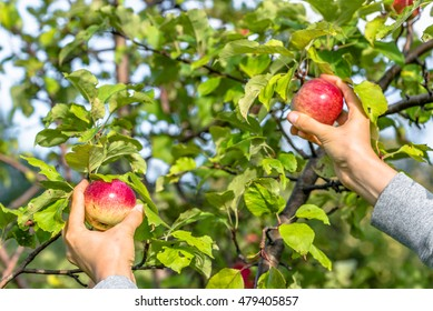 Autumnal apples picking. Apple tree branch and hands. Autumn harvest in orchard.
