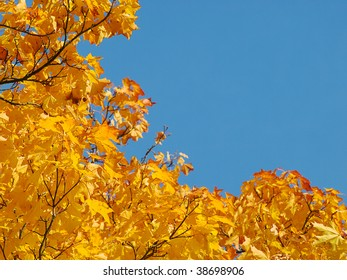 Autumnal background with clear blue sky framed by maple yellow foliage.