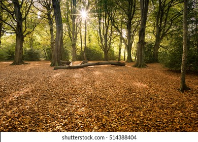 Autumnal Beech trees in the morning sun.