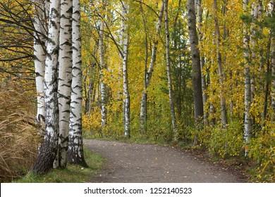 Autumnal birch path in morning sunshine, Finland