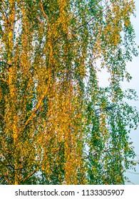 autumnal birch trees