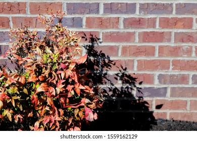 Autumnal Bush against a Brick Wall