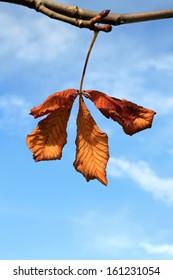 Autumnal Chestnut Leaf