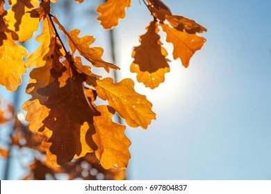 Autumnal colored leafs of an oak