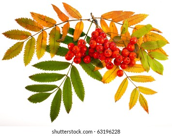 autumnal colorful red rowan branch isolated on white