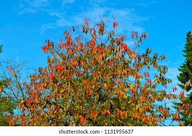 Autumnal colorful treetops in front of bright blue sky