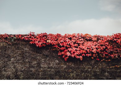 Autumnal colors, ivy wall with red leafs, vintage color grading