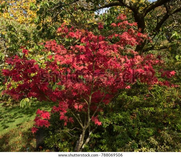 Autumnal Colours Acer Palmatum Osakazuki Japanese Stock Photo Edit