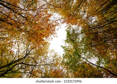 autumnal common beech foliage isolated on a white background - botton-up view