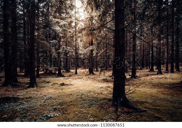 autumnal coniferous forest