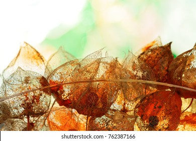 Autumnal Decoration with weathered Physalis alkekengi in Back Light