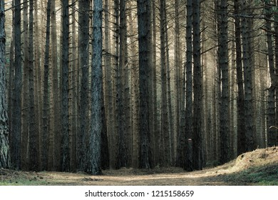 autumnal dense and tall trunk pine forest background in Etna Park, Sicily