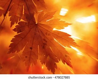 Autumnal design, maple leaf and sun