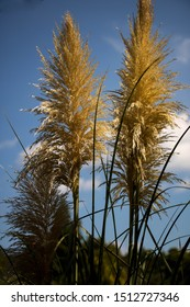 autumnal flowering reed in the garden