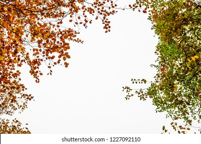 autumnal foliage framework isolated on a white background - common beech botton-up view