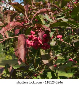 Autumnal Fruit and Leaves of Euonymus atropurpureus (American Wahoo or Burning Bush) in a Woodland Garden in Rural Devon, England, UK