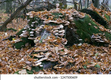 Autumnal fungus grows over old tree stump, Bialowieza Forest, Poland, Europe