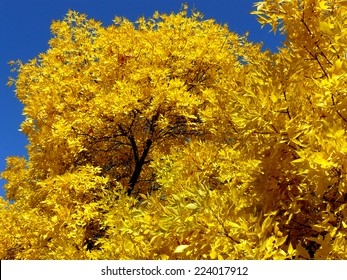autumnal golden foliage of ash-tree