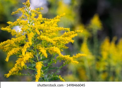Autumnal Goldenrod on a Soft Focused Background with Abstract Yellow Flowers in the Woods ~GOLD RUSH~