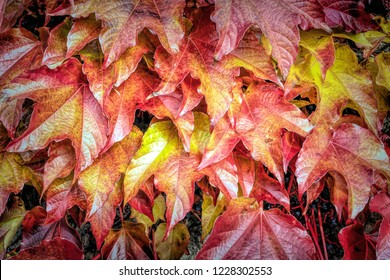 autumnal grape leaves in red and yellow