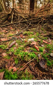 Autumnal landscape. Close up view on the mossy ground in autumn forest covered with fallen golden leaves