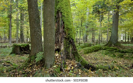 Autumnal landscape of deciduous stand with alder trees stump and old oak trees in background moss wrapped