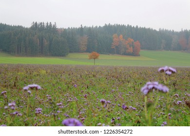 Autumnal landscape with scorpionweed in the foreground, misty panorama landscape in the background, Allgäu, Bavaria