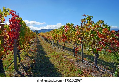 Autumnal leaf colours in a Pinot Noir Vineyard, Marlborough, New Zealand